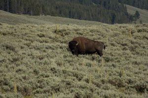 Bison dans le yellowstone